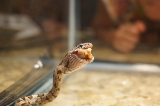 """slither, eating his first """"pinky"""""""