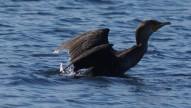 cormorant 2.0